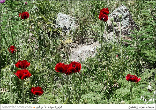 گلهای شقایق در دامنهی کوه دماوند