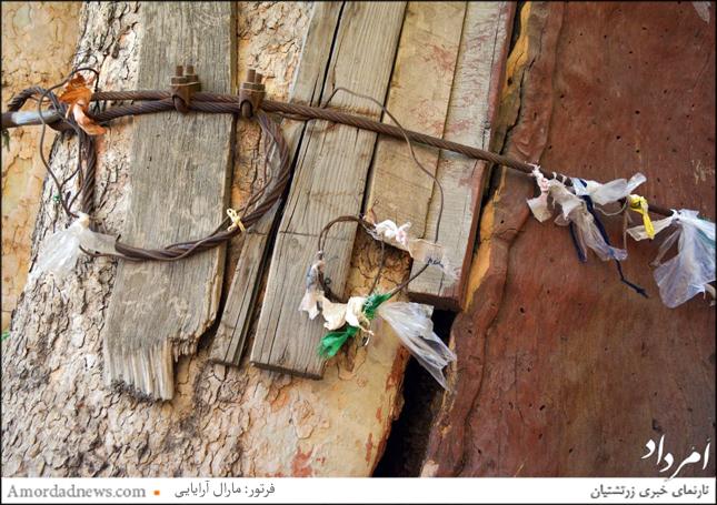 چنار 900 ساله که مردم برای گشایش در گرههای زندگیشان بندهایی را به درخت گره زدهاند