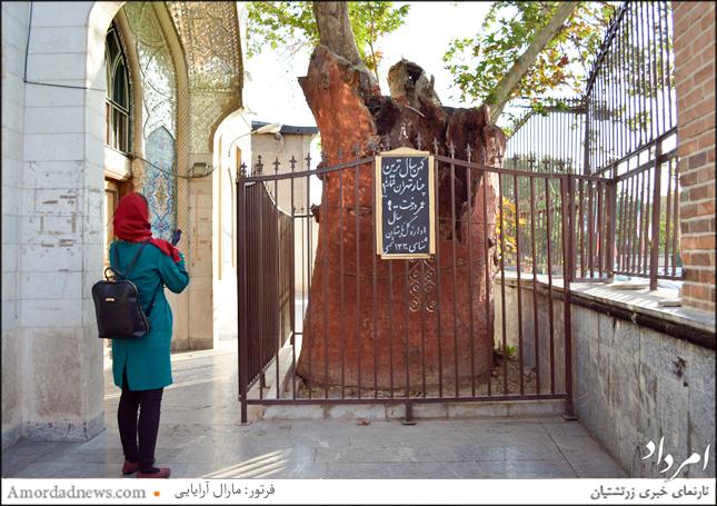 چنار 900 ساله امامزاده یحیی