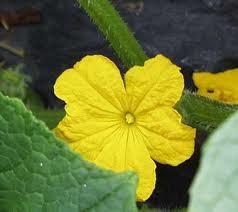 گل بادرنگ