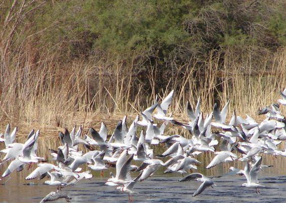 تالابهای لرستان زیستگاه امن پرندگان